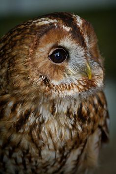 Chouette Hulotte - Tawny Owl by Ed Swift