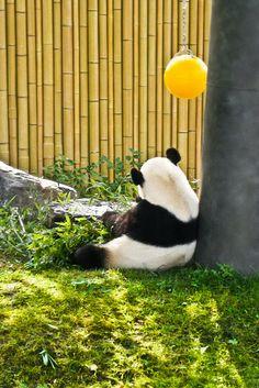 Sits, eats shoots and leaves | Flickr - Photo Sharing! #pandas #pandalovers #animals