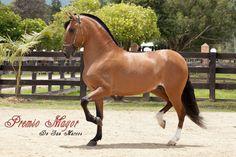 Colobian Criollo horse. Premio Mayor de San Marcos, Trote y Galope.