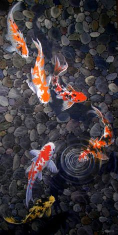 """Koi fish are the domesticated variety of common carp. Actually, the word """"koi"""" comes from the Japanese word that means """"carp"""". Outdoor koi ponds are relaxing. Koi Art, Fish Art, Koi Painting, Gold Fish Painting, Koi Fish Pond, Coy Fish, Koi Ponds, Fish Drawings, Koi Fish Drawing"""