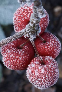 Frost on the crab-apples in my garden  | by Steven House