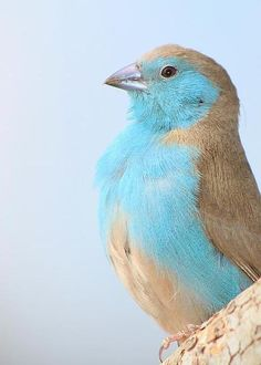 Blue Waxbill Pride by Hermanus A Alberts