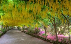 Laburnum Arch – Britain Bodnant Garden (which is owned by the National Trust) is one of the most spectacular and admired gardens in Britain.  Laburnum Arch, a curved walk about 180 feet long covered with a magnificent cascade of long yellow flowers in late May/early June.