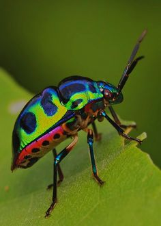 IMG_6684 shield bug by Troup1, via Flickr