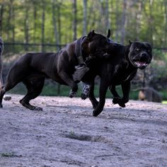 Animals And Pets, Cute Animals, Black Pitbull, American Pitbull, Bully Dog, Aggressive Dog, Big Guys, Cane Corso, Pit Bulls