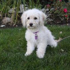 Cute!  This one looks kind of like Zoe!  :)  DEBBIE is an adoptable Poodle Dog in Newport Beach, CA. You may meet and apply to adopt Debbie at our ADOPTION EVENT on SATURDAY, JANUARY 26th from 12 Noon - 3:00 at PETCO in COSTA MESA. adoptpetmatch...