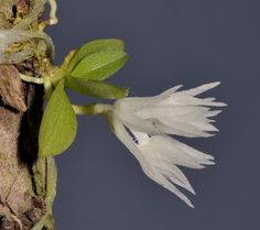 Hymenorchis tanii  [in Side-view]