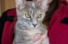 Chloe is an adoptable Domestic Short Hair searching for a forever family near Muncie, IN. Use Petfinder to find adoptable pets in your area.