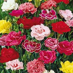i may be strange but carnations are my favorite flowers..