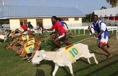 Tobago goat race
