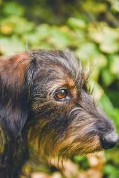 #photographie #photography #animal #dog #chien #teckel #nature #details #vintage #manon #debeurme #photographe #photographer Manon, Dogs, Nature, Vintage, Dachshund Dog, Photography, Animaux, Weenie Dogs, Naturaleza