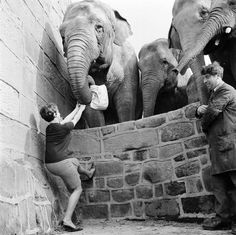 Bar Bar the Elephant, Chester Zoos biggest bag snatcher strikes again, grabbing handbag owned by Ann Evans of Broughton Chester, who was enrolled to find out if he had reformed his ways, 23rd November 1966. https://twitter.com/every_chester