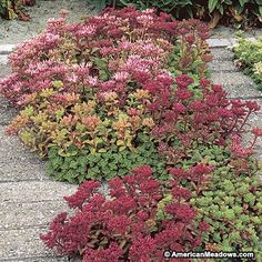 Dwarf Stonecrop Dragon's Blood creates a carpet of red only 4 to 6 inches tall with vivid, starry flowers. (Sedum spurium)