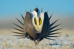 Wyoming's Bird of Paradise - bioGraphic