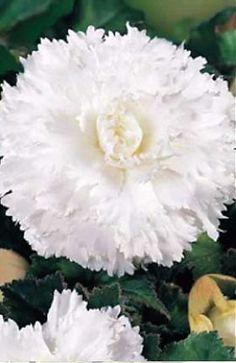 Бегония Фимбриата Белая 938