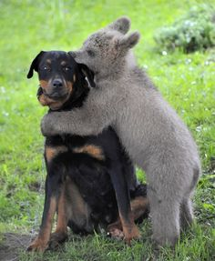 ~ Medo - Orphaned bear cub which was adopted by a family in Slovenia - Hugging the family dog ~ <3<3<3