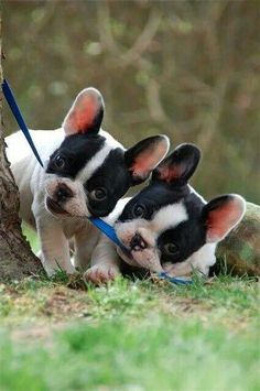 Double Frenchies!