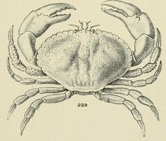 img/dessins coquillages france/dessin de coquillage - crabe tourteau - crustaces.jpg
