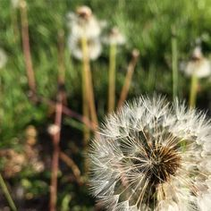 "Dandelion comes from Latin words ""Dens Leonis"" roughly meaning tooth of the lion, because of the tooth-like jagged leaves.  We welcome them here.   #dandilion #homesteading #gardening"