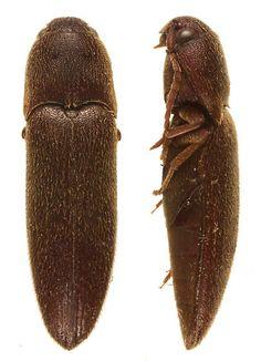 coleoptera/ eucnemidae false click beetle. [cnf/o]