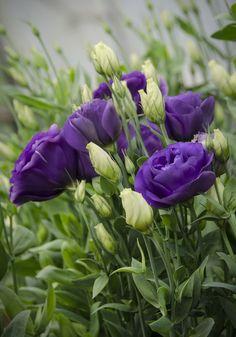 Blue Lisianthus by C Beautiful gorgeous pretty flowers Exotic Flowers, Amazing Flowers, Purple Flowers, Beautiful Flowers, Beautiful Gorgeous, Cut Flowers, Arrangements Ikebana, Table Flower Arrangements, Purple Garden