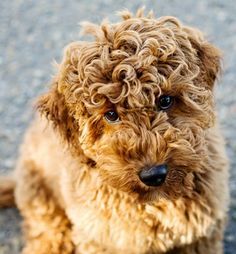 Don't know what type of dog this is but it won my heart with its copper colored curls. So sweet.