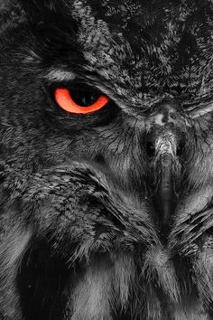 Black owl with red eye Beautiful Owl, Animals Beautiful, Cute Animals, Animals Amazing, Owl Photos, Owl Pictures, Buho Tattoo, Ocean At Night, Owl Artwork