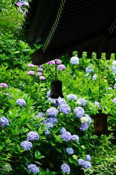 Hydrangea, Kamakura, Kanagawa, Japan