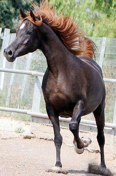 Hora B (Halim Shah I  x  216 Haszuna B) 200 dark chestnut mare Straight Egyptian; Hadban Enzahi Strain - Idan Atiq Arabian Stud