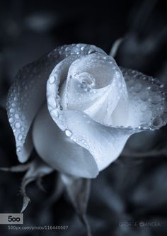 Rose by georgeoan. Please Like http://fb.me/go4photos and Follow @go4fotos Thank You. :-)