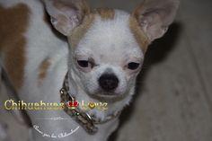 Chihuahuas Love - Querer Un Chihuahua y Tener Alergia. ¿Alergia a los Chihuahuas?