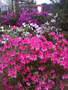 Spring Azaleas...Photo by Linda Guy Phillips