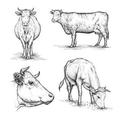 Picture of engrave isolated cow illustration sketch. linear art stock photo, images and stock photography. Illustration Sketches, Art Sketches, Art Drawings, Illustrations, Pencil Drawings Of Animals, Animal Sketches, Cow Sketch, Cow Drawing, Linear Art