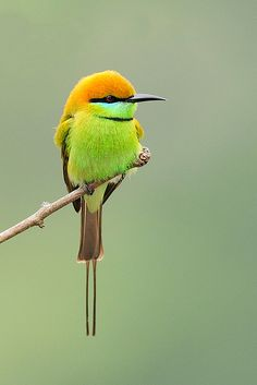 The Green Bee-eater, Merops Orientalis, (sometimes Little Green Bee-eater) is a near Passerine bird in the Bee-eater family. It is resident but prone to seasonal movements and is found widely distributed across sub-Saharan Africa from Senegal and The Gambia to Ethiopia, the Nile valley, Western Arabia and Asia through India to Vietnam. They are mainly insect eaters and they are found in grassland, thin scrub and forest often quite far from water.