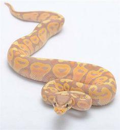 banana pastel ball python