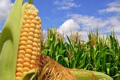 Ear of corn against a field under clouds - Stock Photo , Chile, Ears Of Corn, Corn Ear, Street Food, Chicago, Clouds, Stock Photos, Gardening, Fruit