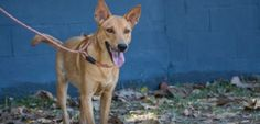 My name is Sailormoon. I am a friendly one year old girl. I was just a few weeks old when I was found abandoned. I would never have survived but, thanks to people like you, the Soi Dog Foundation in Phuket, Thailand, was able to take me in and care for me
