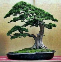 BEAUTY BONSAI