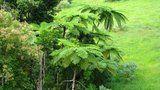 Cyathea cooperi  Also known as:  Australian Tree Fern  Cooper's Tree Fern  Lacy Tree Fern  Scaly Tree Fern