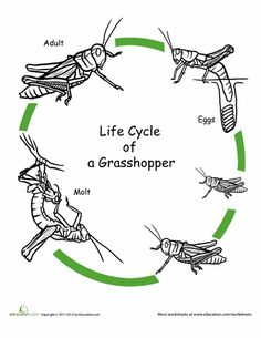 Worksheets: Color the Life Cycle: Grasshopper