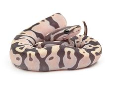 Scaleless Ball Python - http://www.ssnakess.com/forums/general-discussion/102249-scaleless-snakes-brief-history.html