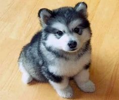 Huskeranian = Pommeranian + Siberian Husky.  Not much bigger than a Pomeranian, they have the adorable appearance of a Husky!