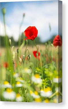 Red Poppy Canvas Print for sale. Green summer meadow with red corn poppies. The image gets printed on one of our premium canvases and then stretched on a wooden frame, click through and check out your options. 30 days money back guarantee. Matthias Hauser - Art for your Home Decor and Interior Design.