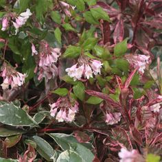 Kolkwitzia amabilis Pink Cloud - Buisson de beauté - Beauty busch.