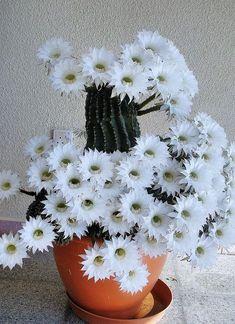 Cactus in beautiful full bloom. u2192 For more, please visit me at: www.facebook.com/jolly.ollie.77 - Gardening Love