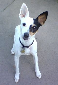 Toy Fox Terriers. Yeah, I think my dog is a mix of this and a Chihuahua
