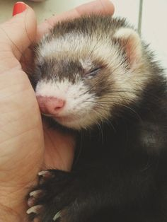 Sleepy boy <3 #ferret #ferrets