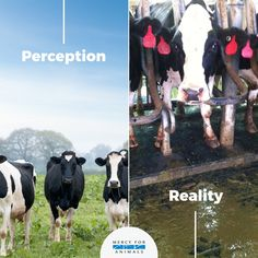 dairy: the reality is cruel - why finance such cruelty - go for plant-based cruelty-free milk alternatives Mercy For Animals, Save Animals, Animals And Pets, Vegan Facts, How To Become Vegan, Vegan Quotes, Vegan News, Why Vegan, Stop Animal Cruelty
