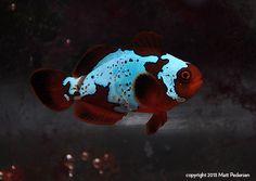 Lighting Maroon Clownfish - The Lightning Project