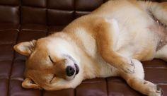 Shiba Inu Happiest dogs ever!